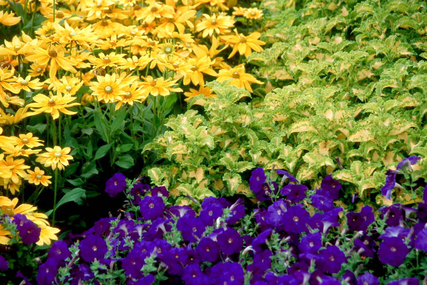 Coleus partners well with garden flowers | Mississippi State ...