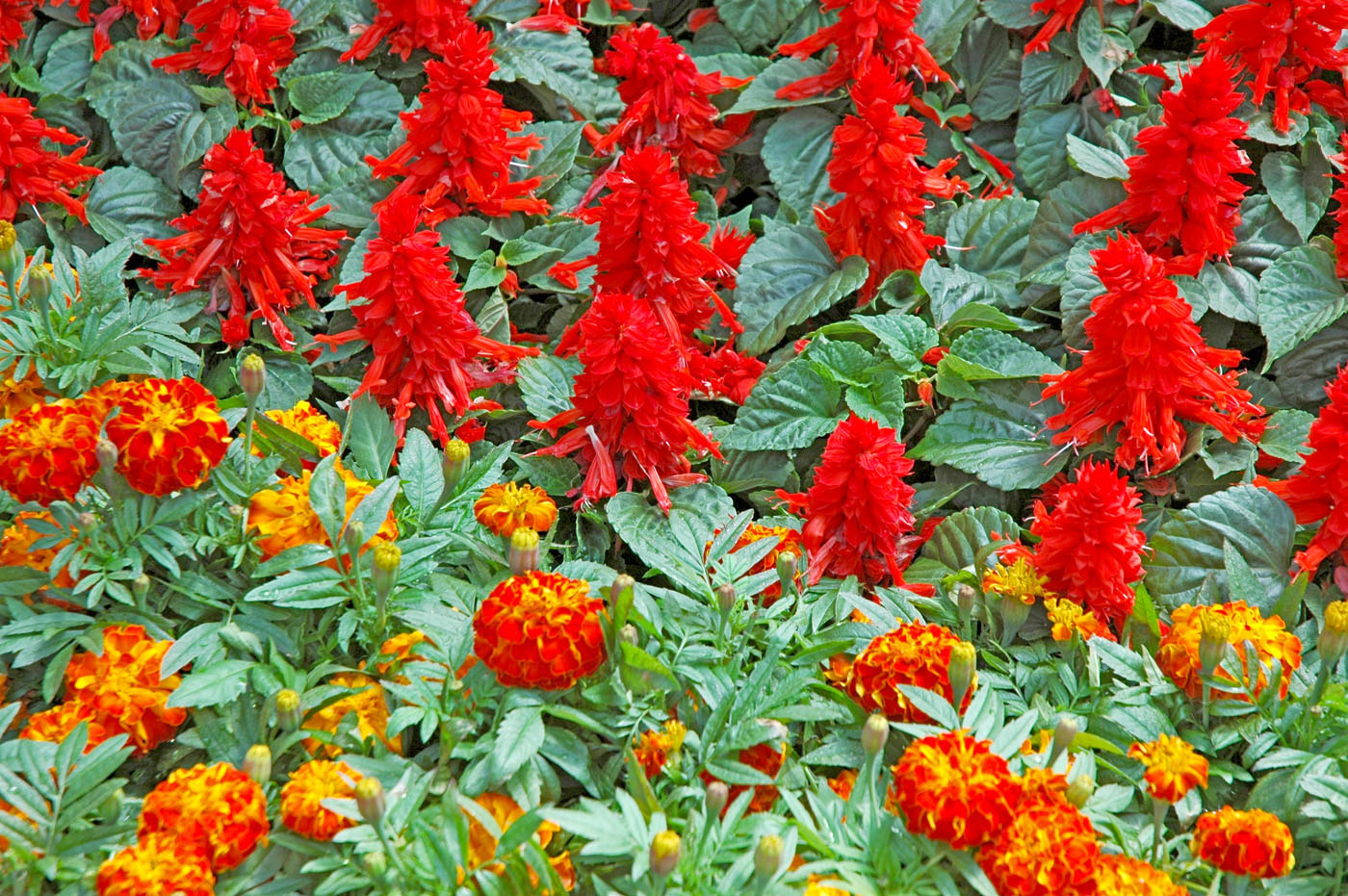 Picante Sizzler Are Hot Salvias For Garden Mississippi