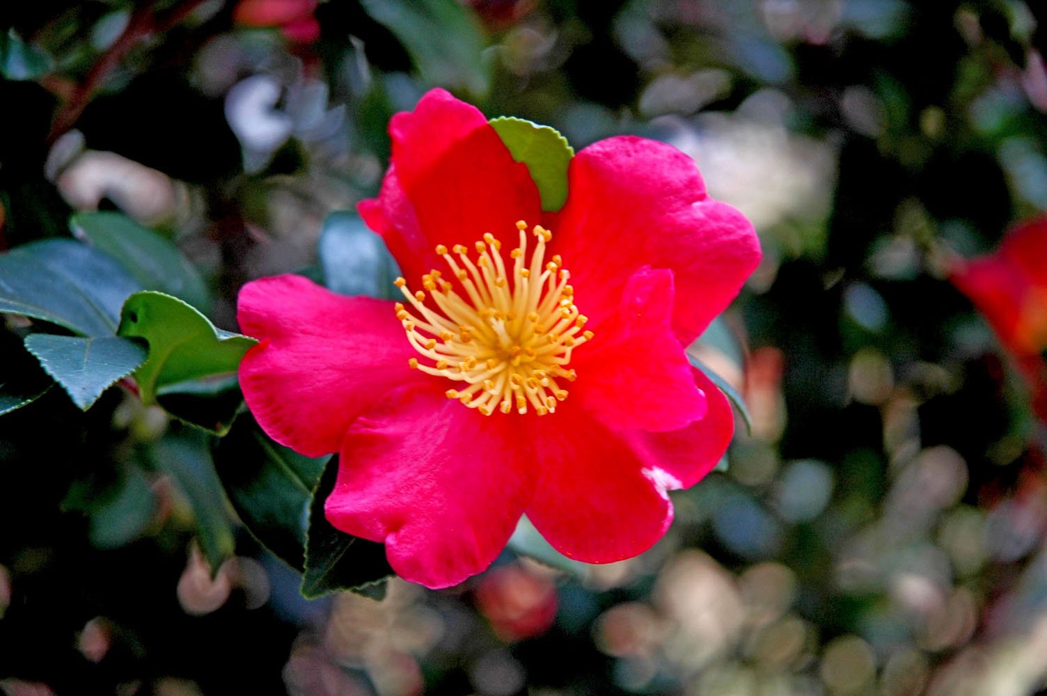 Yuletide camellia is a great holiday shrub mississippi state yuletide camellia is an award winning favorite bearing loads of red flowers coupled with bright mightylinksfo