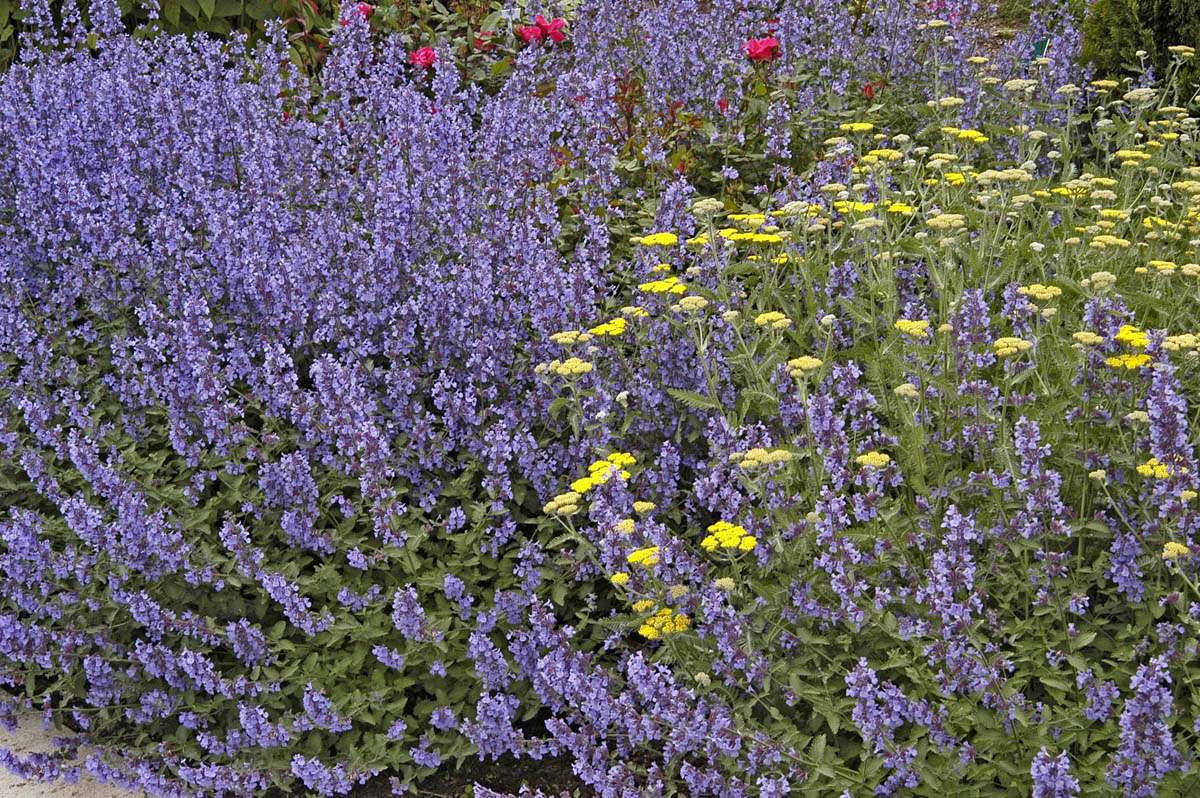 Walker S Low Catmint Named Perennial Of Year Mississippi State