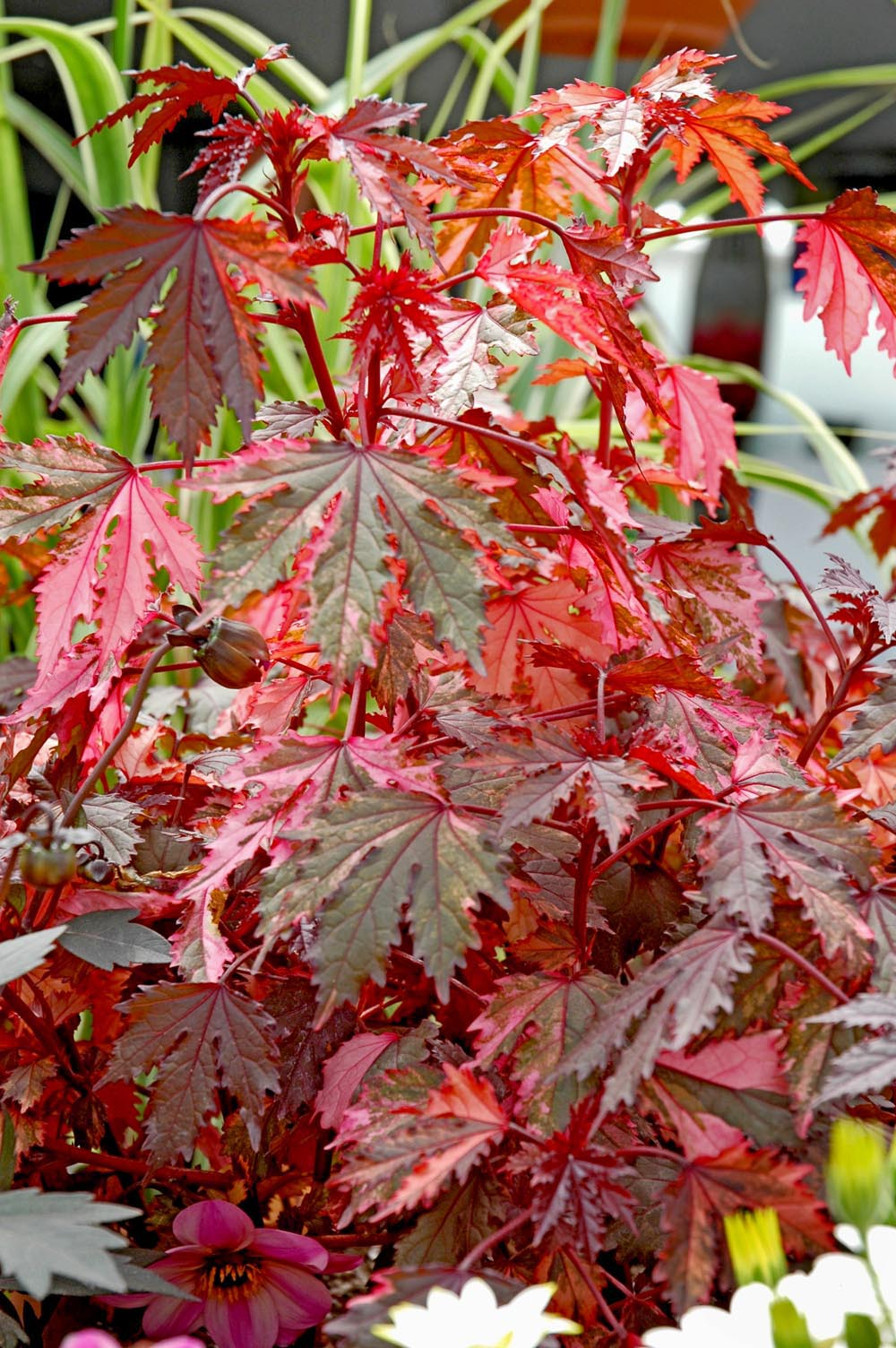 Haight Ashbury Hibiscus Offers Dazzling Foliage Mississippi State