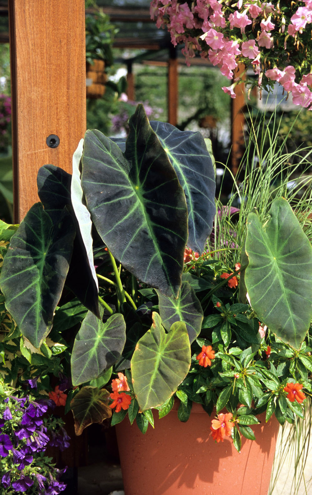 How to create a tropical garden - Achieve The Tropical Look In The Garden With Imperial Taro This Cold Hardy Elephant