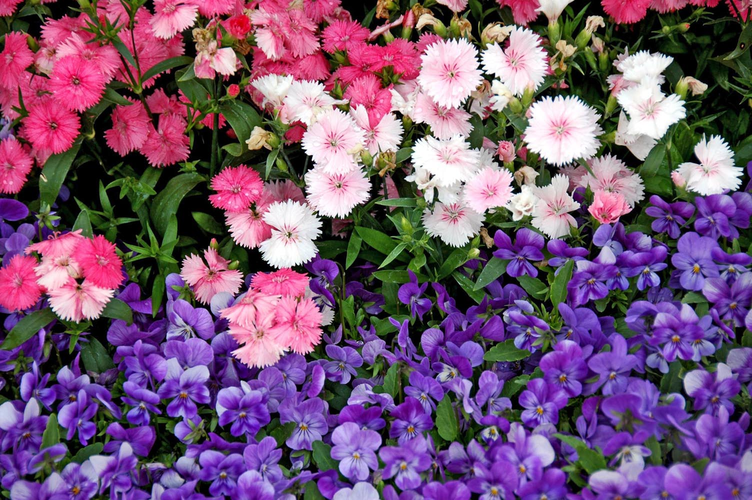 Dianthus Offers Great Cool Season Options Mississippi State
