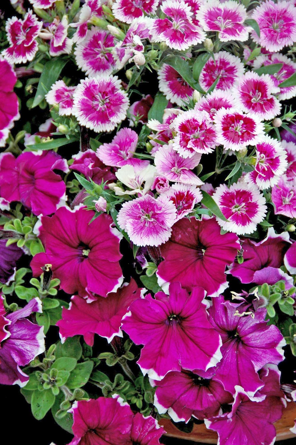 Dianthus offers great cool season options mississippi state telstar purple picotee dianthus and symphony burgundy picotee petunia compose a beautiful monochromatic spring garden izmirmasajfo