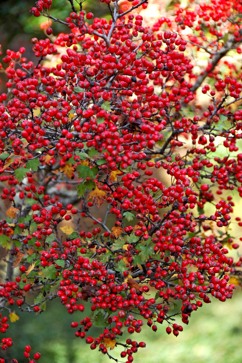 Enjoy a native berry producer each winter | Mississippi ...