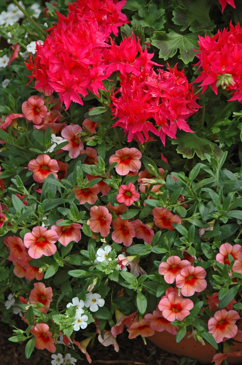 Geraniums add thrill to mixed containers | Mississippi State ...