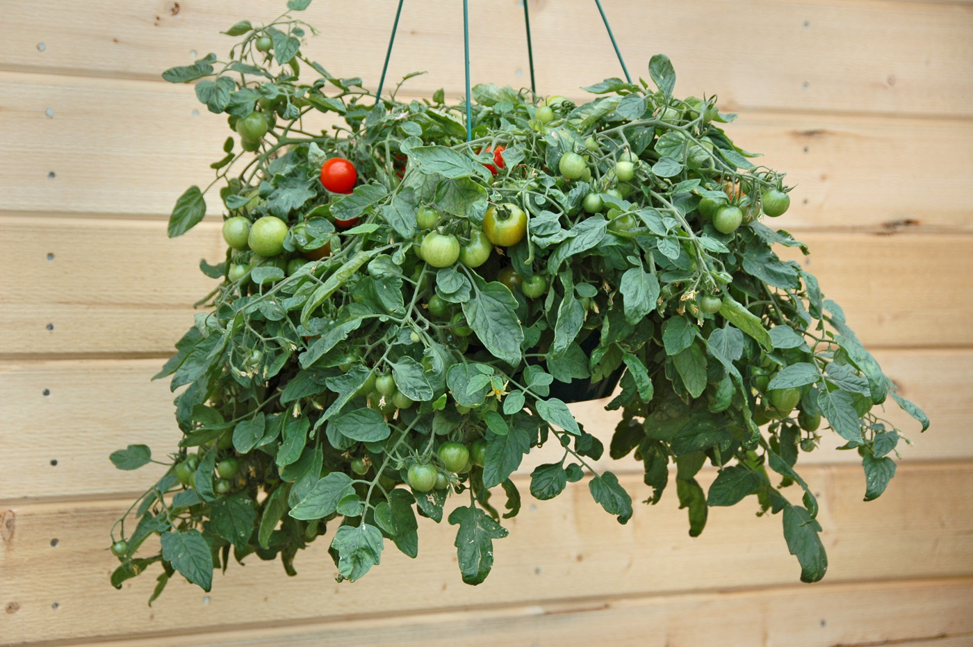 hanging basket and patio tomato seeds red and yellow varieties Bush 5 types