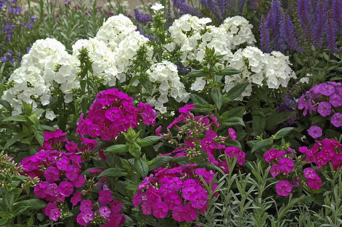 Summer Phlox Is A Cherished Perennial Mississippi State University