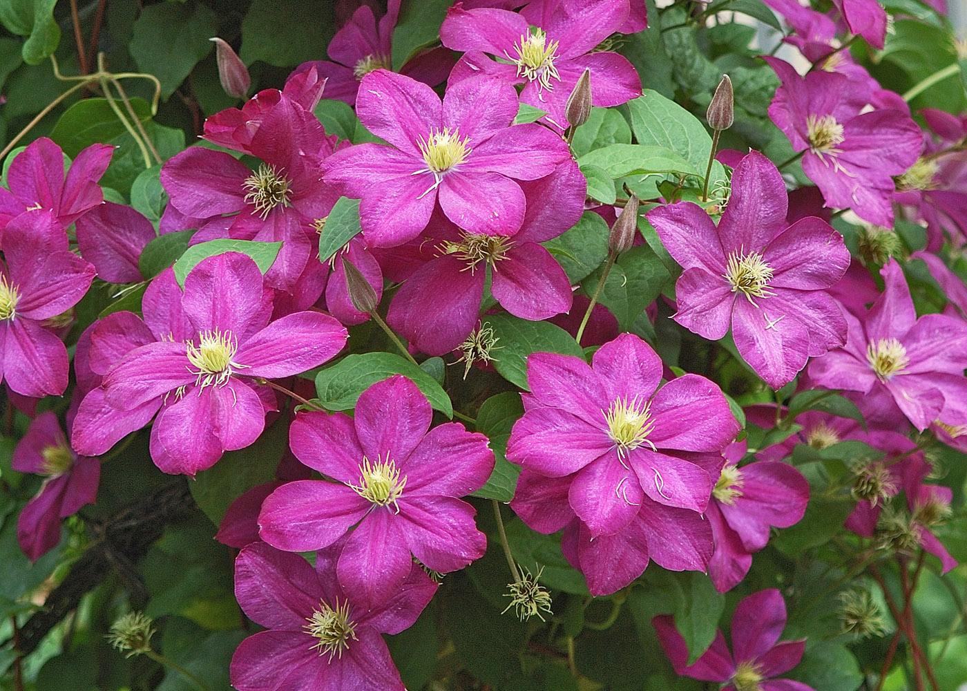 This Clematis In Madison D A Grapevine Tower Spectacular Fashion With Dozens Of Its Richly