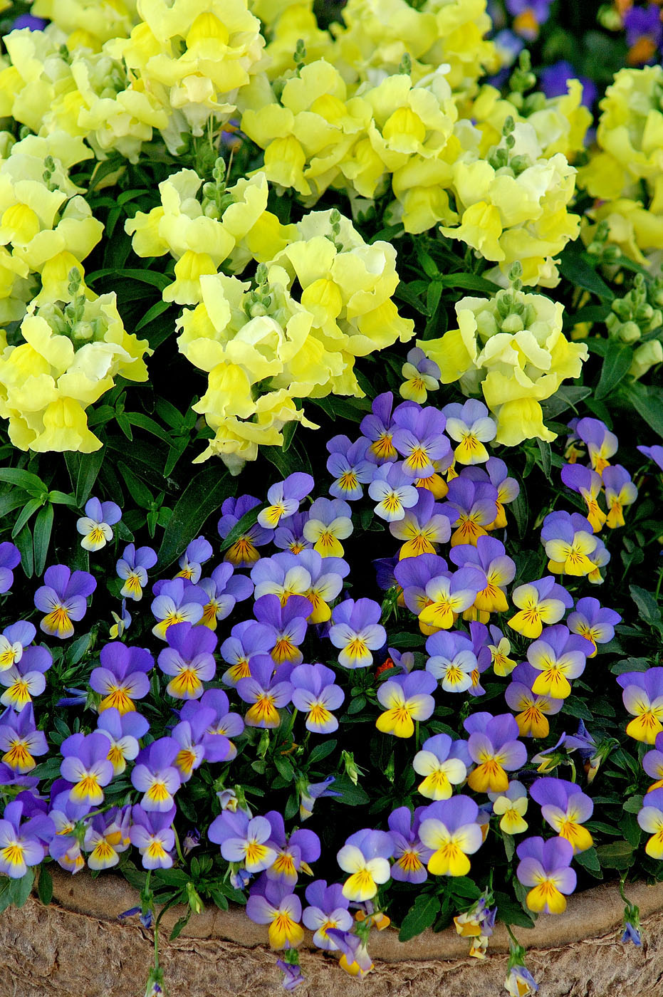 Pansies Violas Provide Long Season Of Splendor Mississippi State