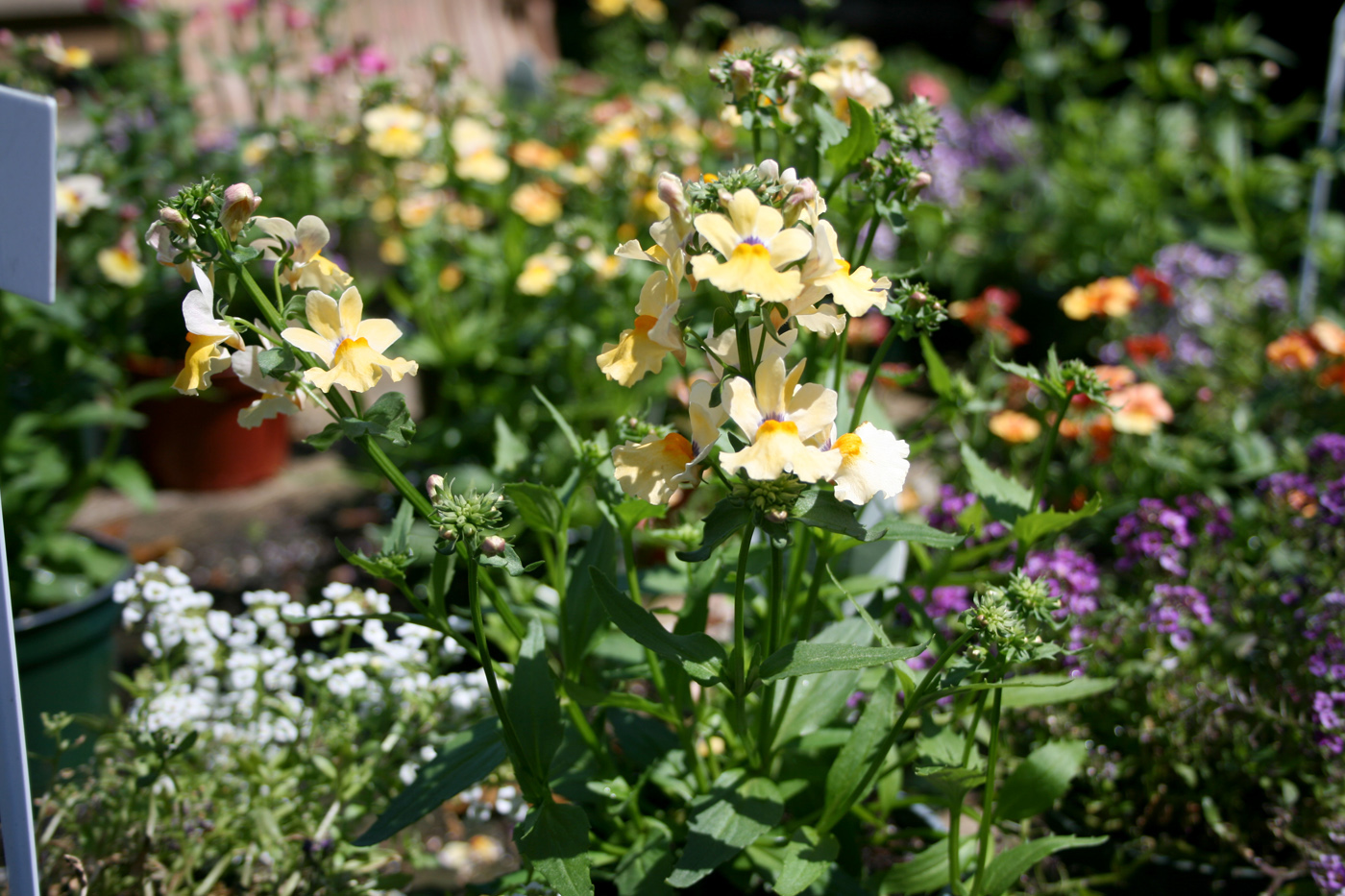 Nemesia And Erysimum Brighten The Spring Garden Mississippi State