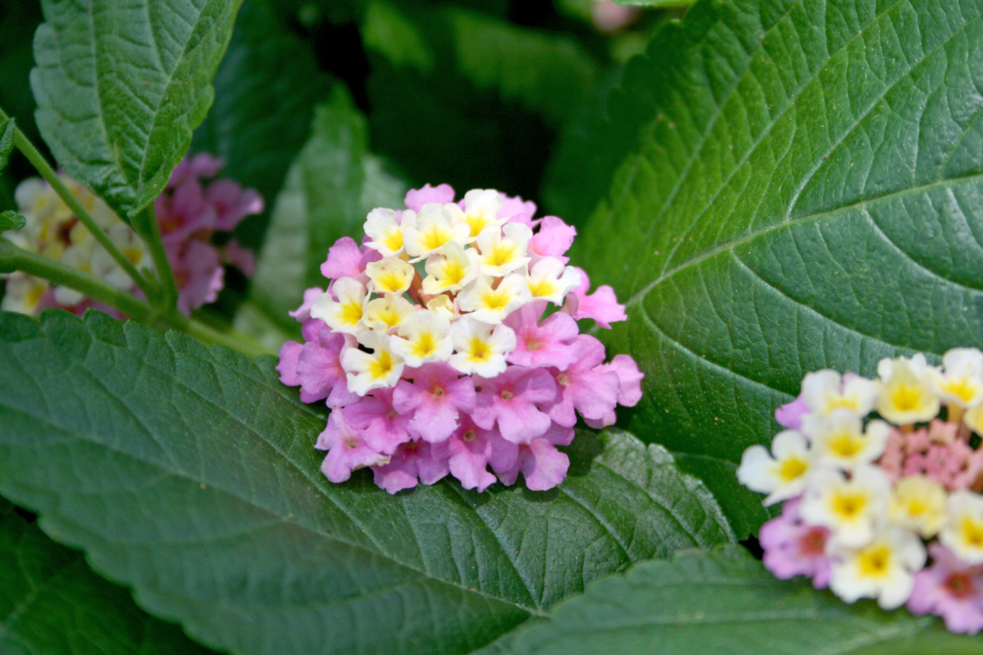 Lantana Thrives In Summer Heat Mississippi State University