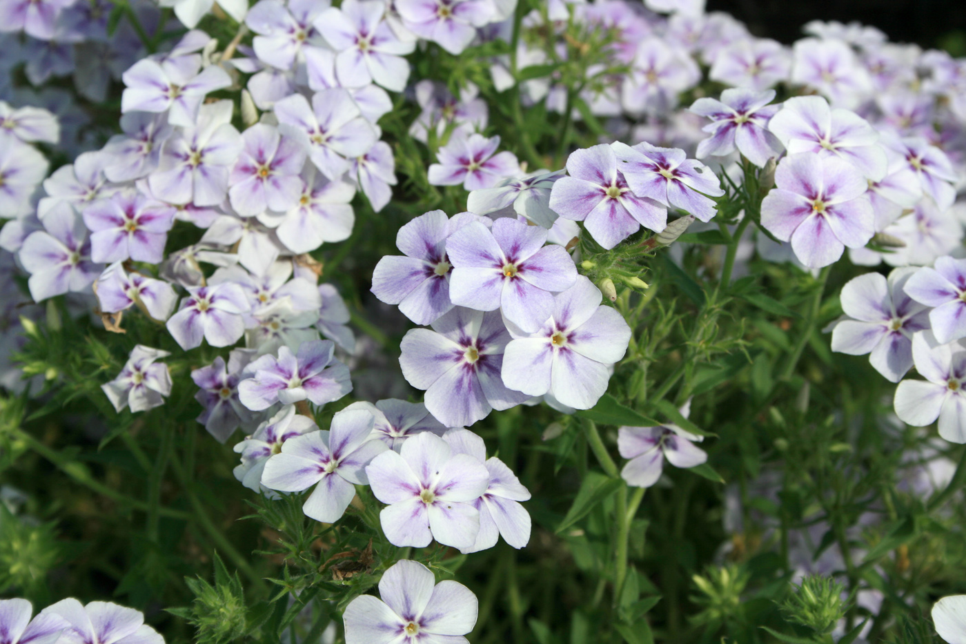 Garden Phlox Gives Excellent Flower Show Mississippi State