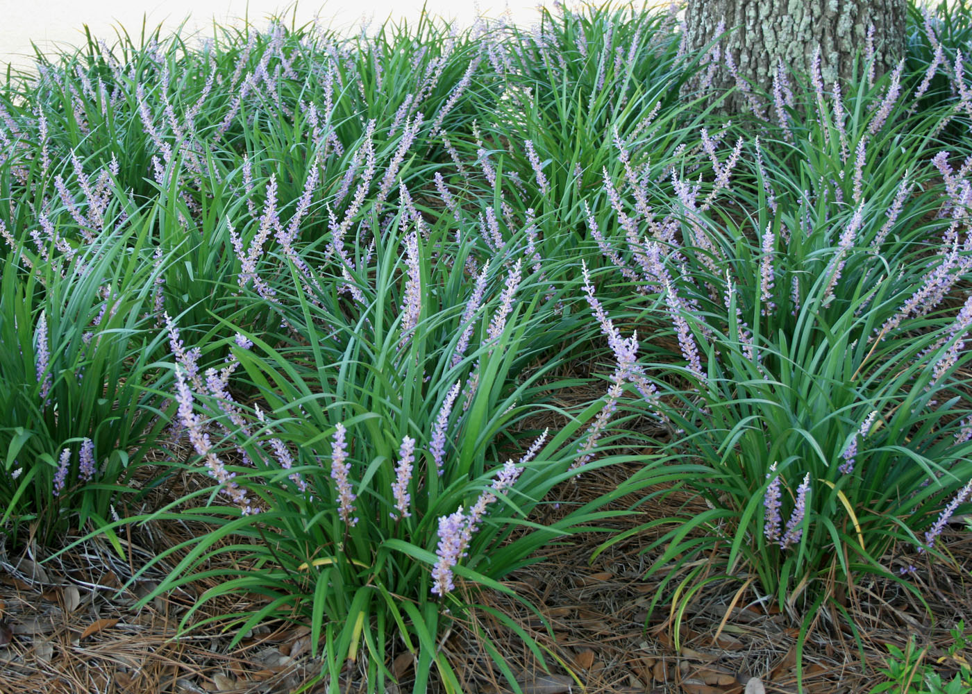 Liriope Thrives In Full Sun Or Shade Providing A Versatile Groundcover Under Trees