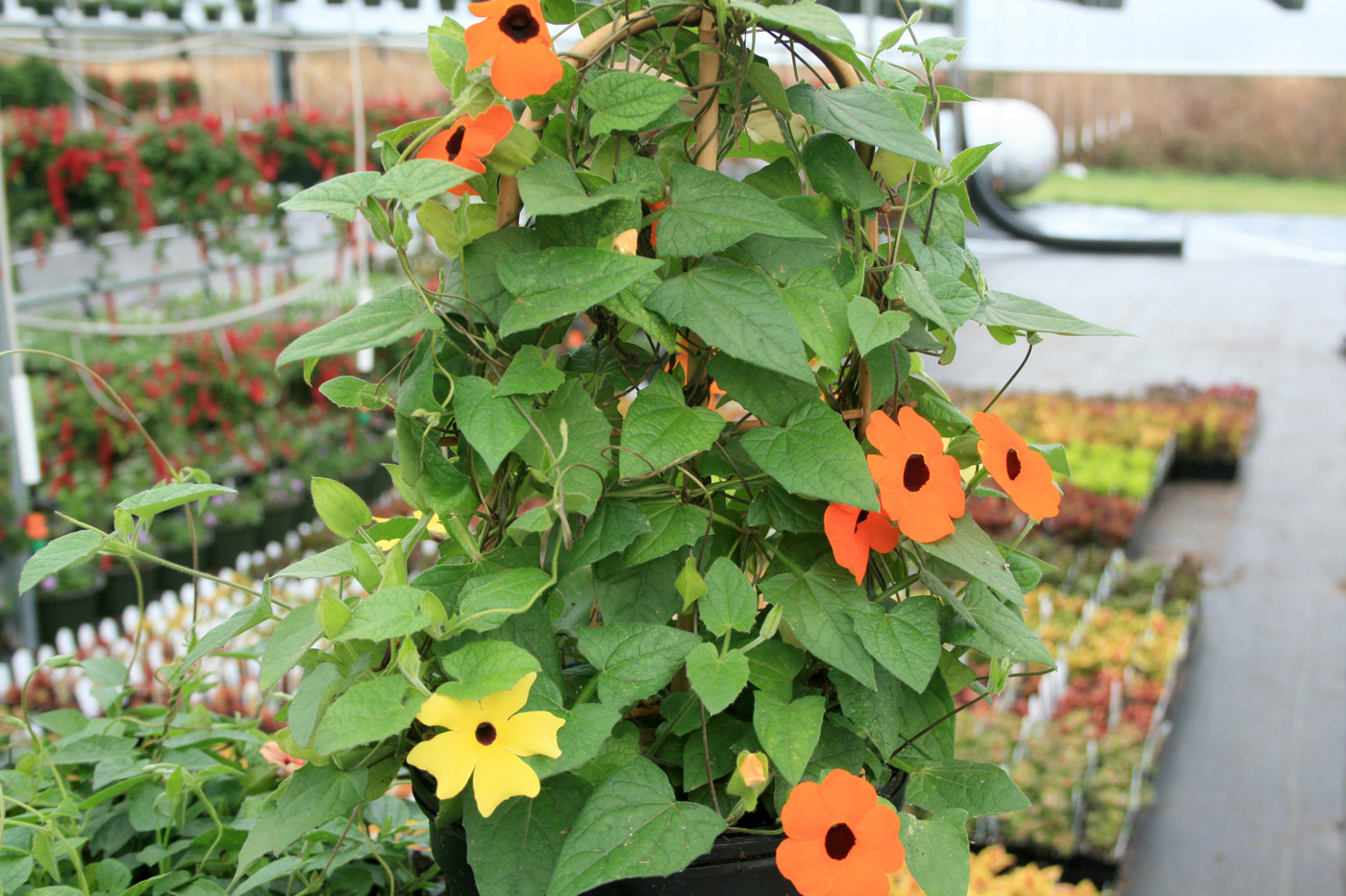 Flowering vines make great bedding annuals mississippi state black eyed susan vines are an annual favorite the sunny look of the flowers mightylinksfo