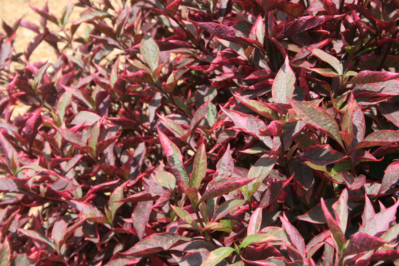 Joseph's Coats' colorful foliage shines in summer ...