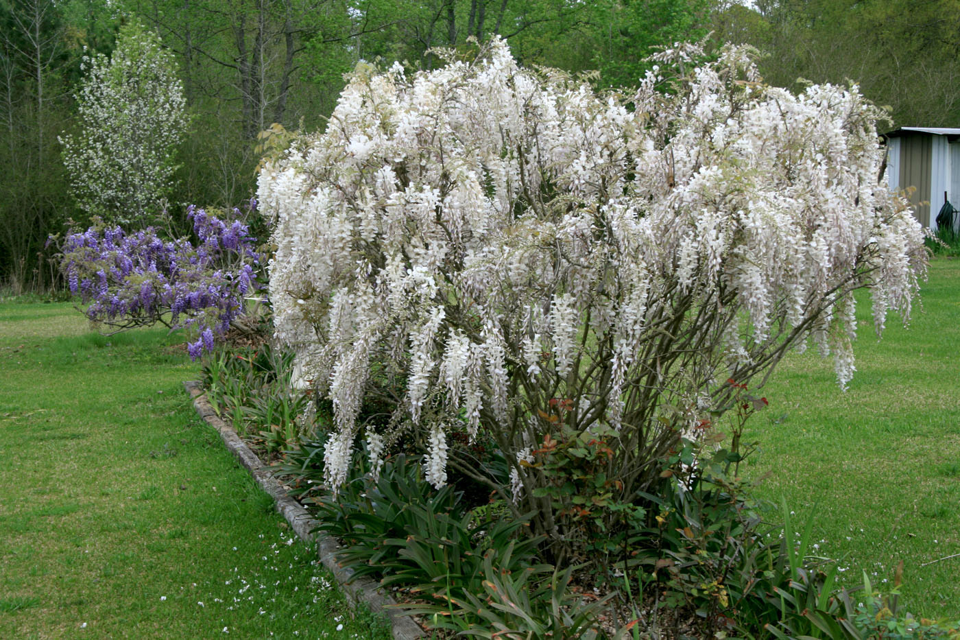 Choose Hardy Wisterias For Colorful Hanging Flowers Mississippi