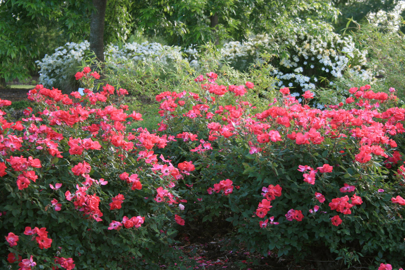 Knockout Roses Have Multi Season Interest The Foliage In Spring And Summer Is
