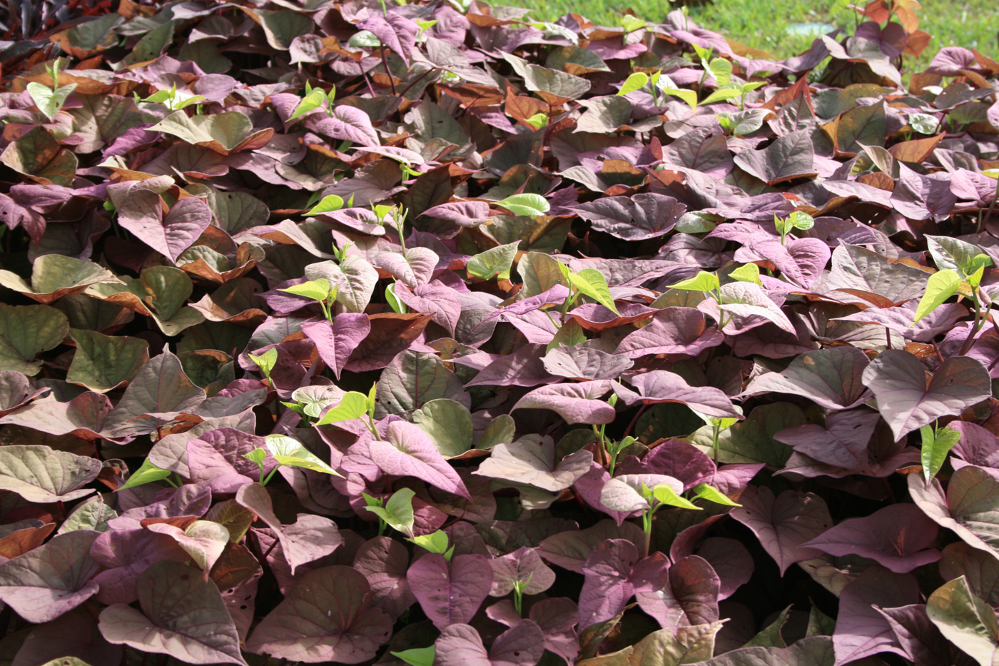 Sweet Potato Vine Adds Unique Colors Mississippi State University