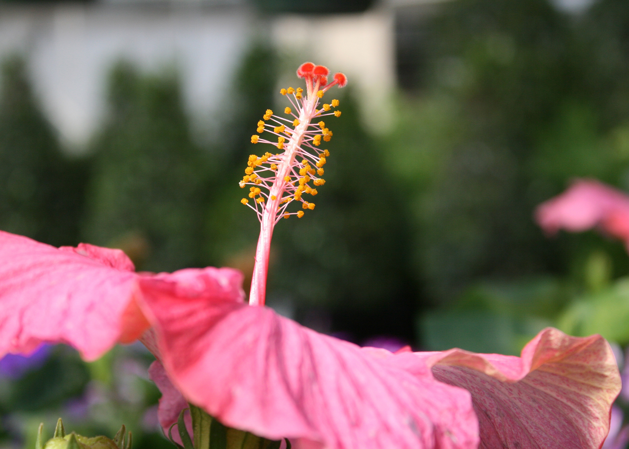 Use cajun hibiscus to spice up the landscape mississippi state one of the intriguing features of the cajun hibiscus is its interesting stamen and pistil arrangement izmirmasajfo