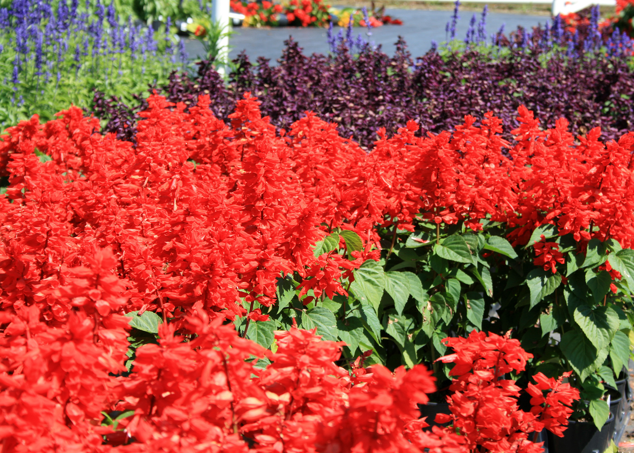 Salvia varieties create colorful informal feel mississippi state the vista series of salvia have some of the best colors and numbers of flowers mightylinksfo