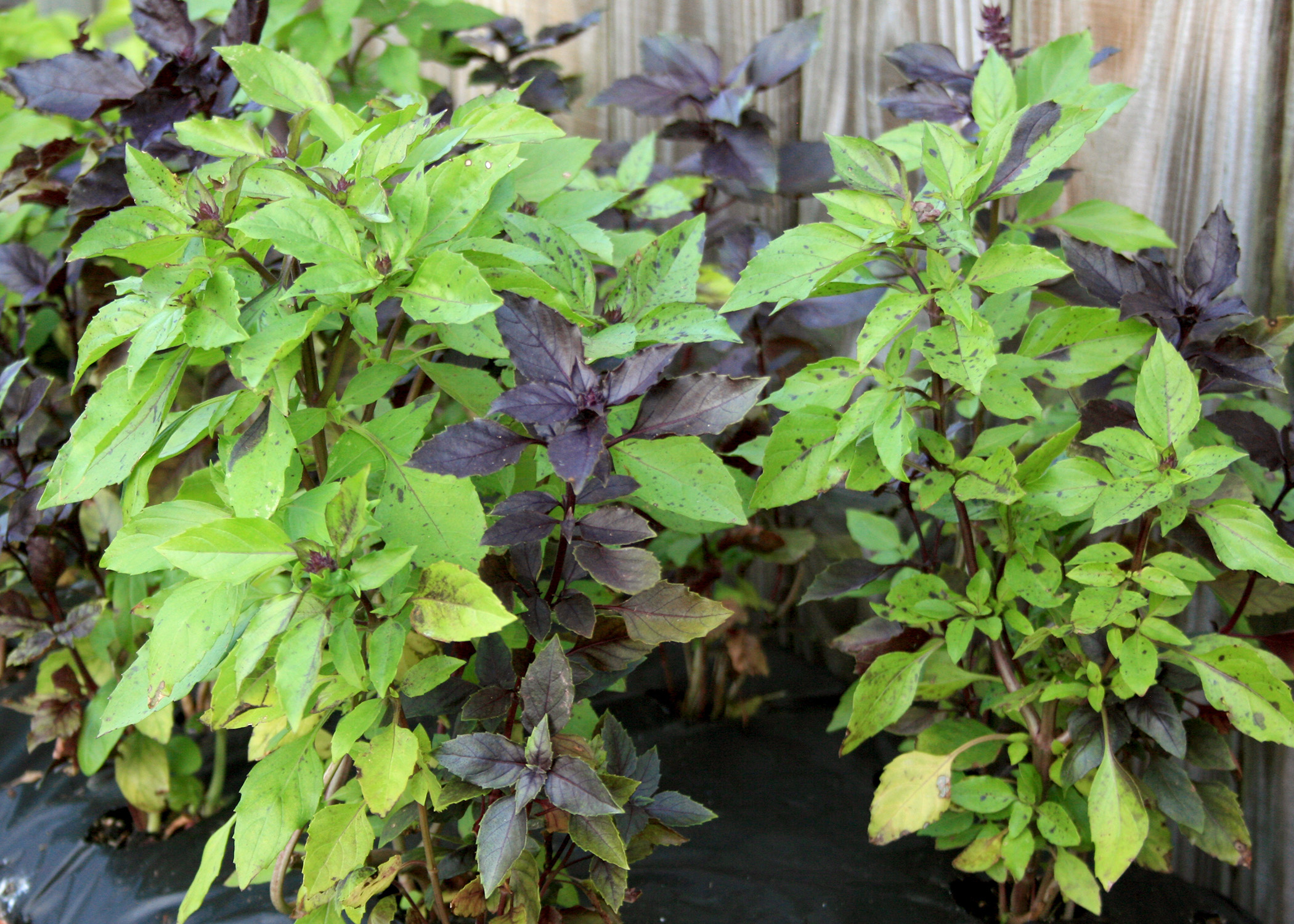 Grow Basils For Beauty And Taste Mississippi State University