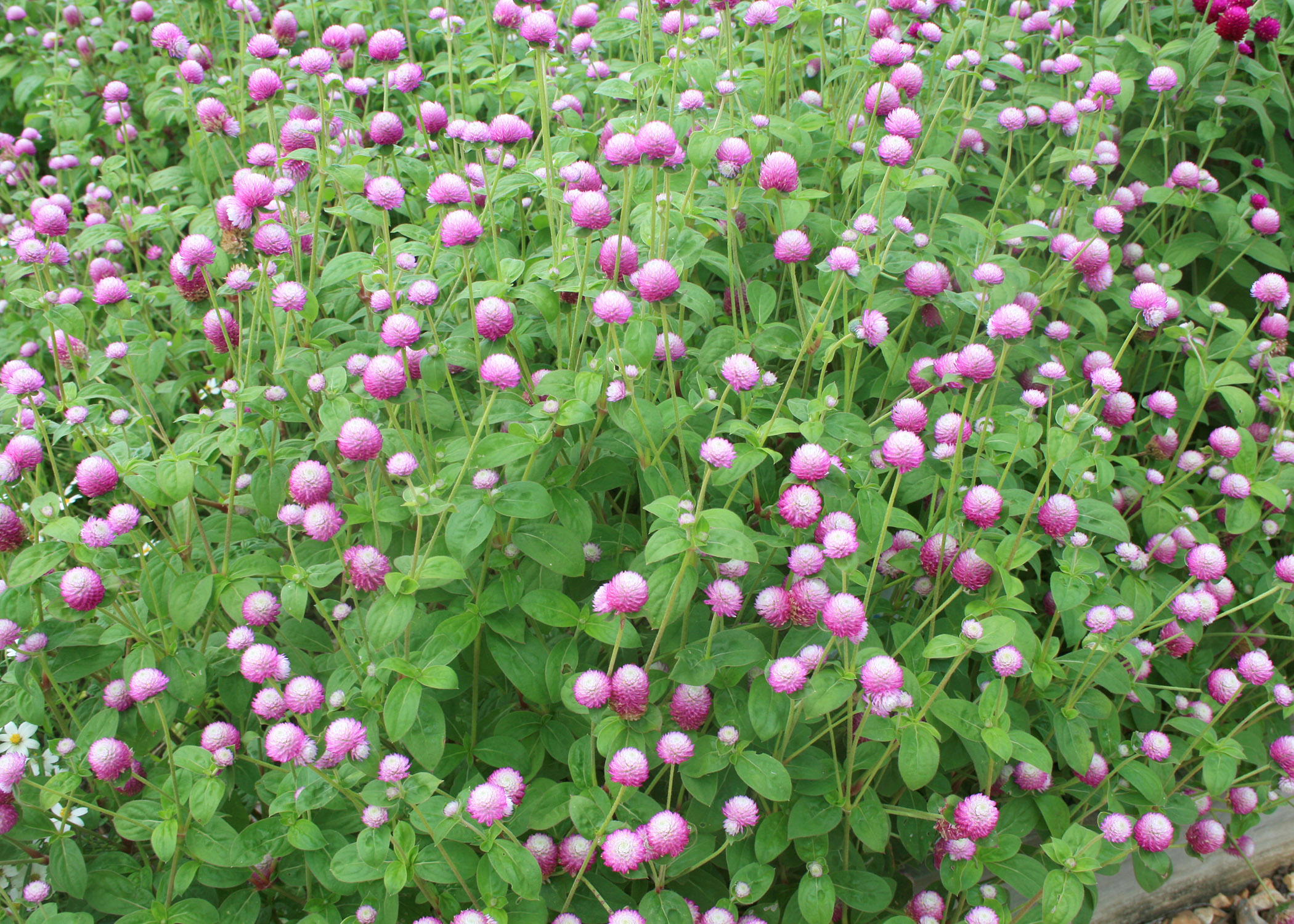 Next Spring Plant Three Flowers For Summer Color Mississippi