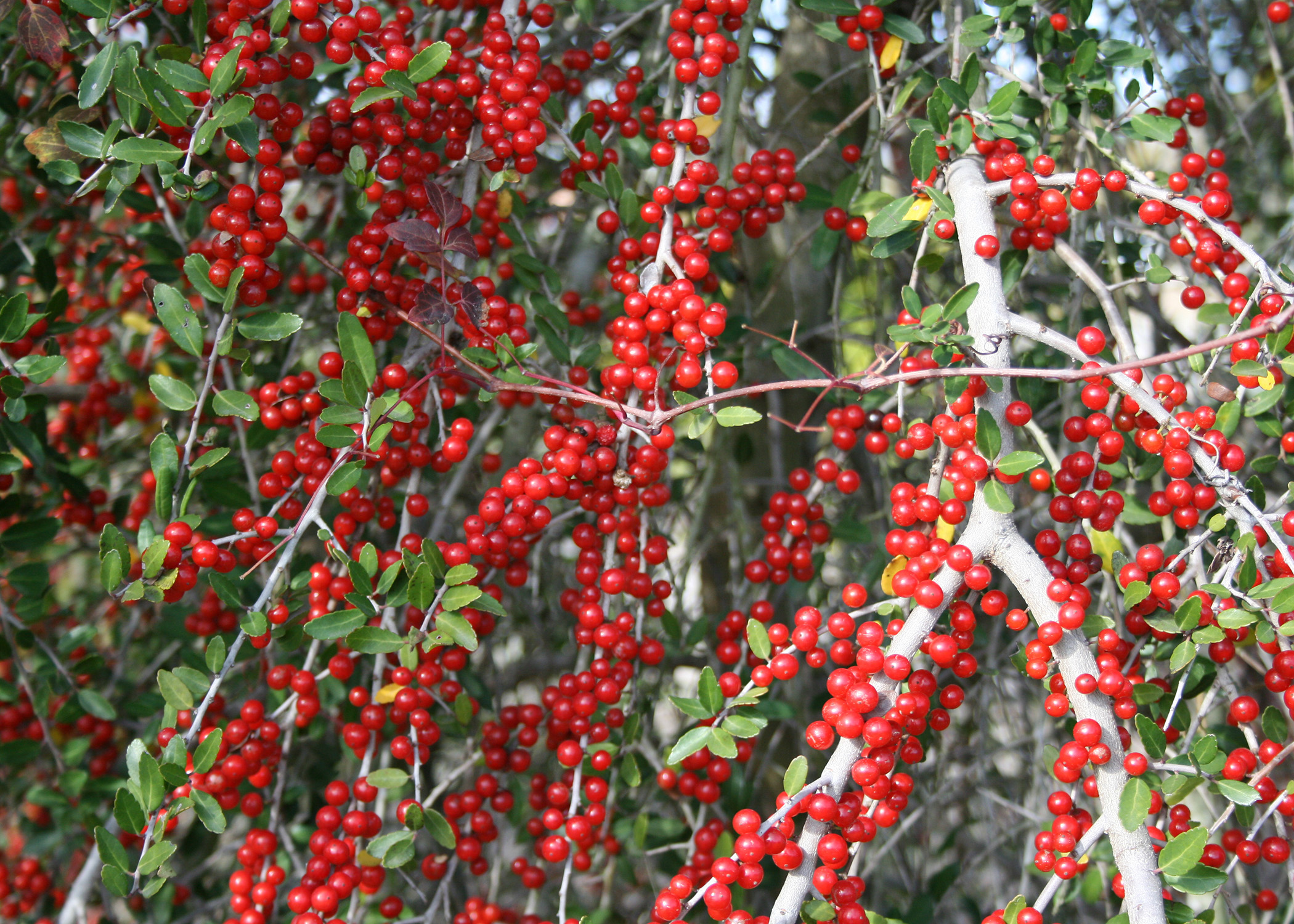 Landscaping Shrubs With Red Berries : Similiar name of red berries on shrubs in winter keywords