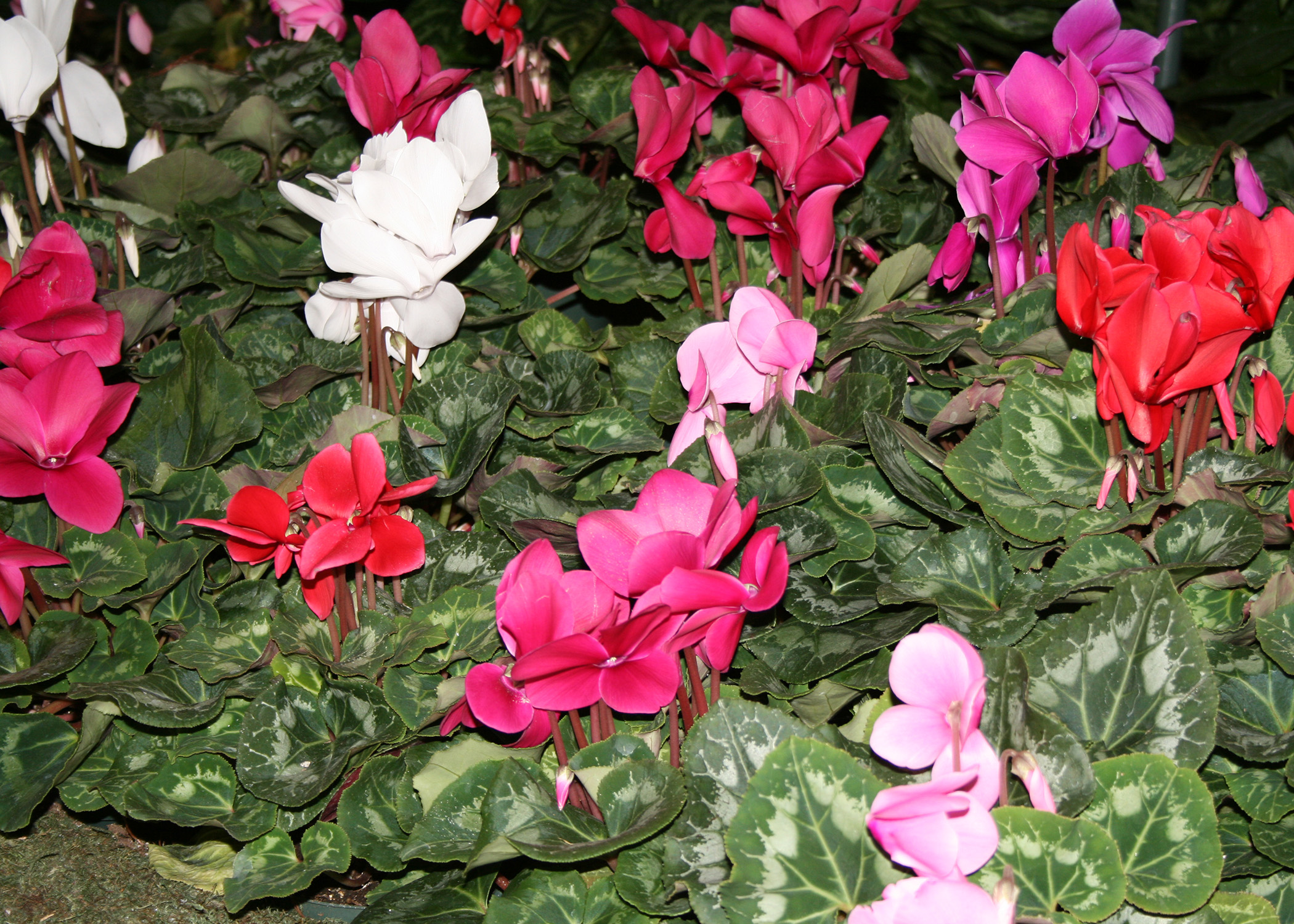 Winterblooming cyclamen make great indoor plants Mississippi