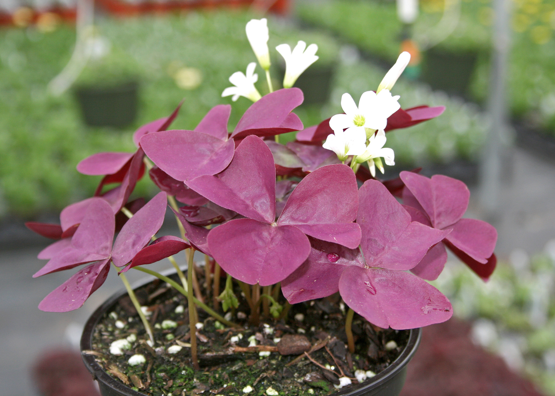 Shamrocks are good landscape additions mississippi state mississippi state university bulldog fans can find plenty of uses for the maroon foliage of the mightylinksfo
