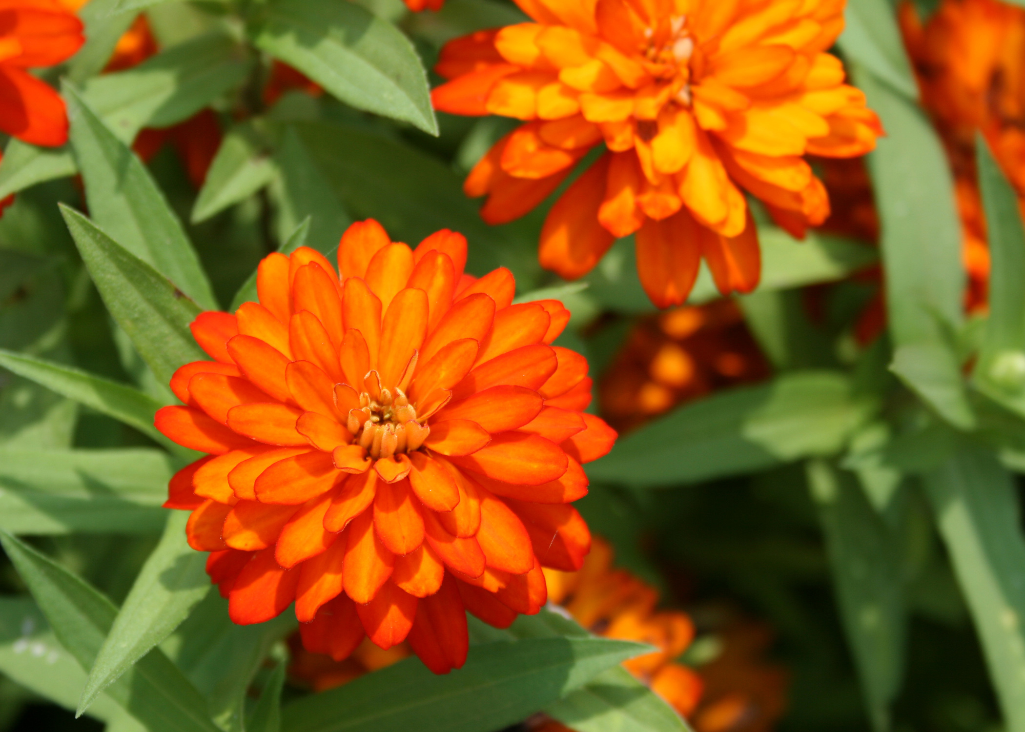Zinnias are easy to grow bring blooms to summer mississippi state zinnia zahara double fire has robust branching that supports masses and mounds of flowers with very izmirmasajfo