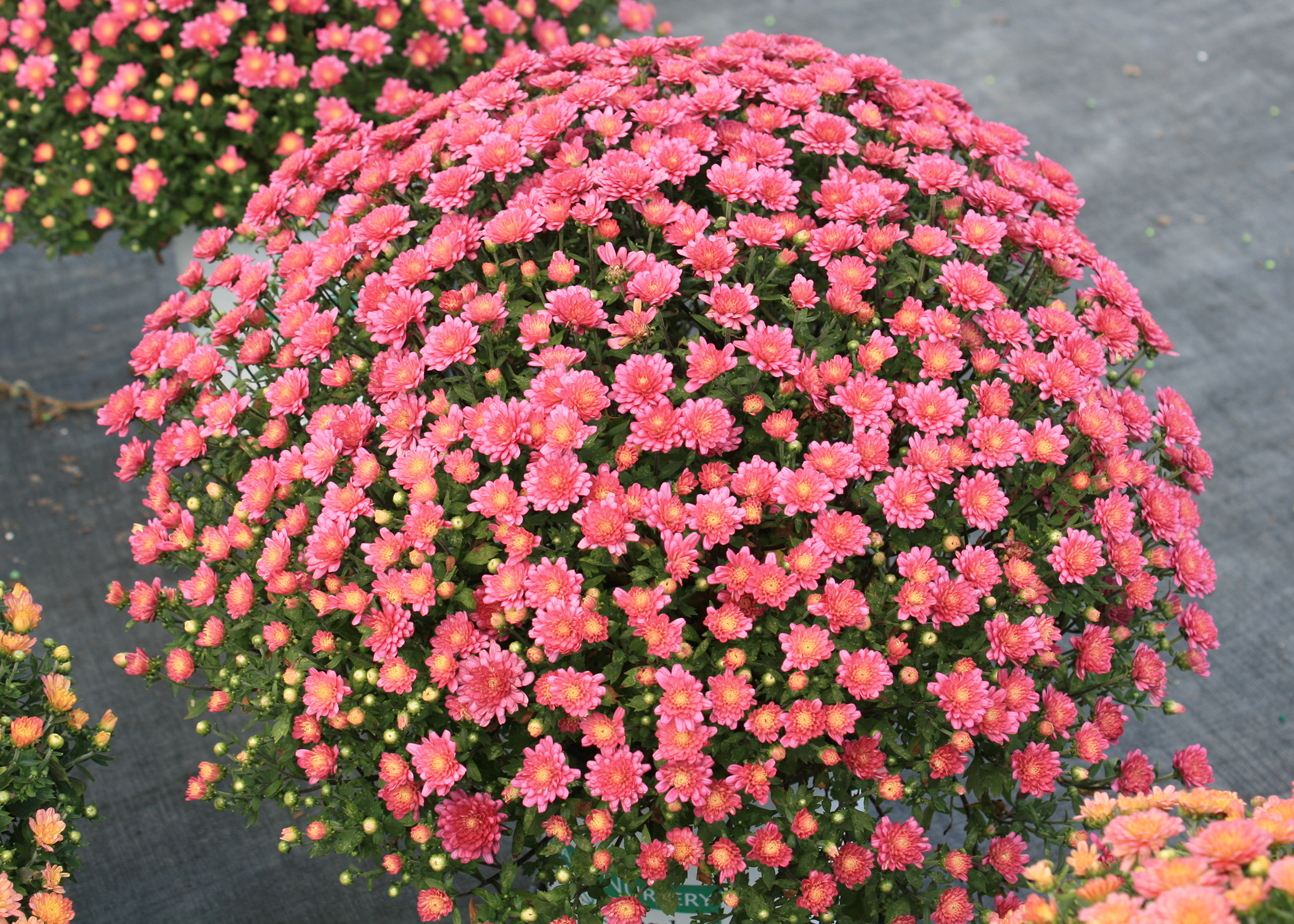 Fall mums provide an instant, colorful impact | Mississippi State ...