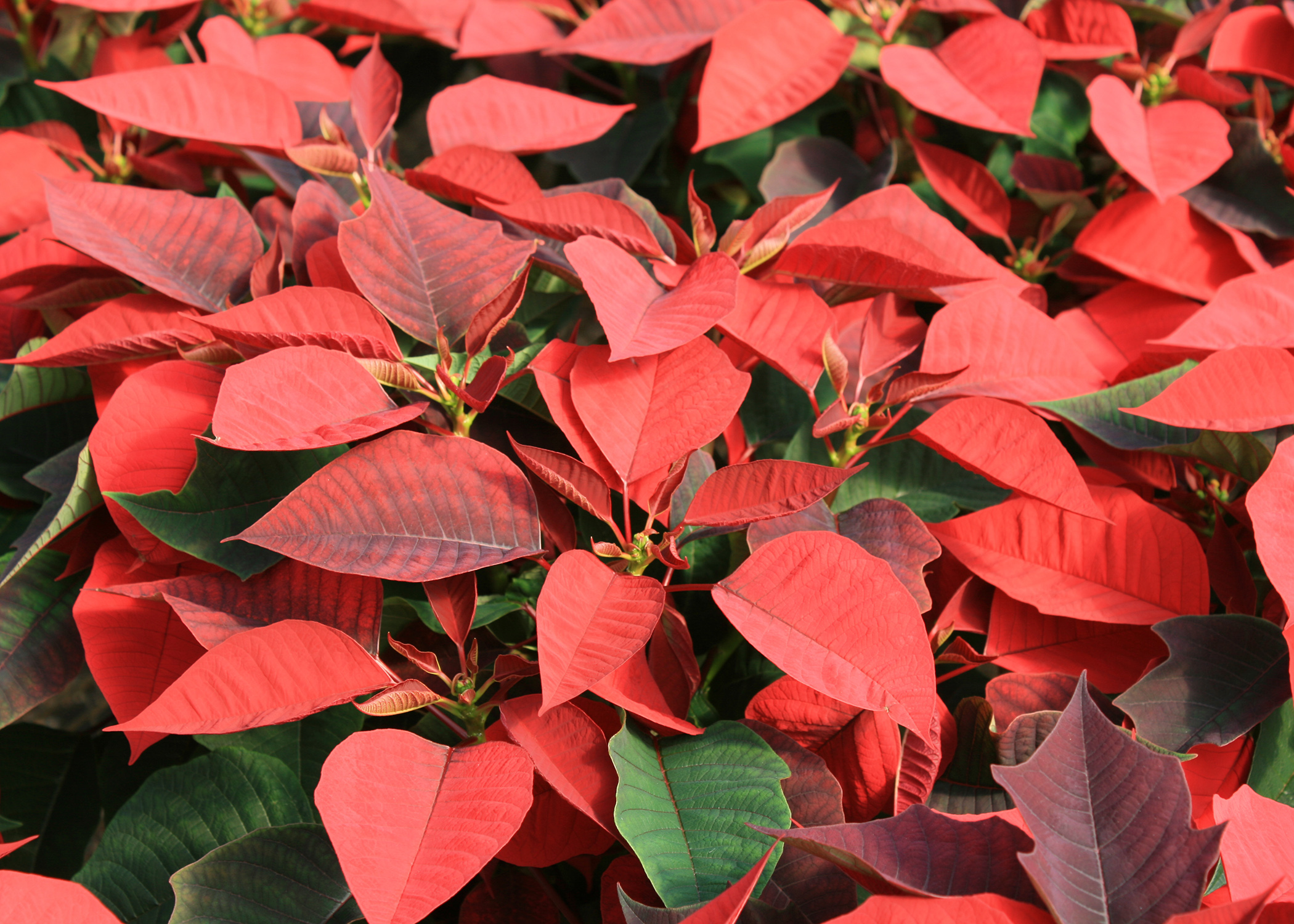 Poinsettias, which are known in their native Mexico as Flores de la Noche Buena,