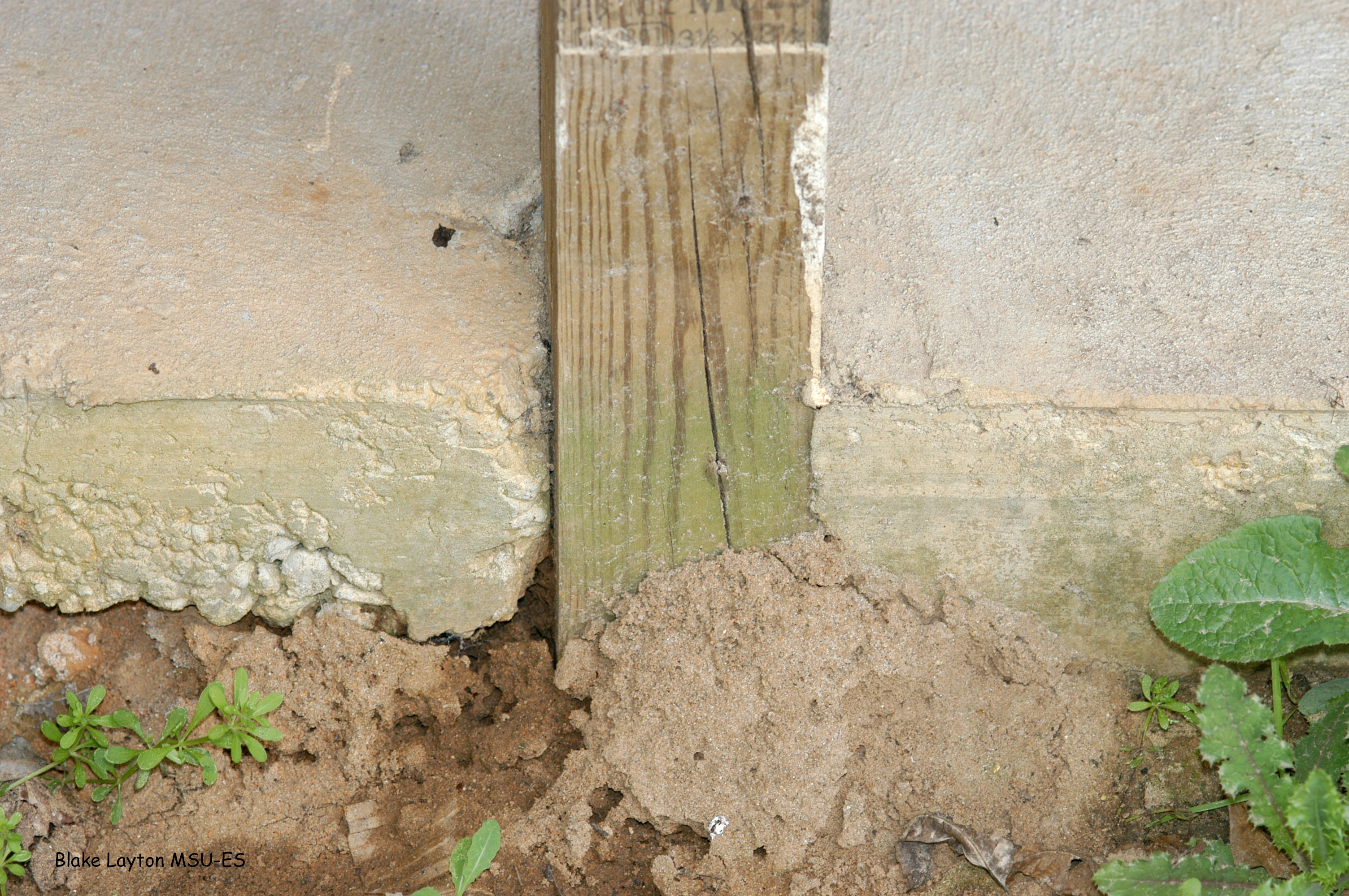 "Any direct wood-to-soil contact within a building's foundation results in a high risk of termite invasion.  This is true even for ""treated"" wood."