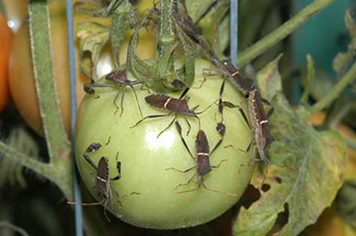 Question: These things are destroying my tomatoes.  How do I control them? Answer: These are leaffooted bugs, common pests in summer vegetable gardens.  See attached information on control.
