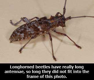 Wood Boring Beetles Of Hardwood Trees Mississippi State