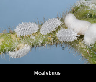 White mealybugs on a green stem.