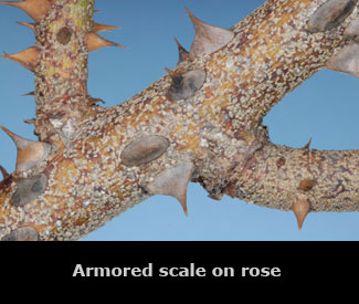 Armored scale on a rose stem.