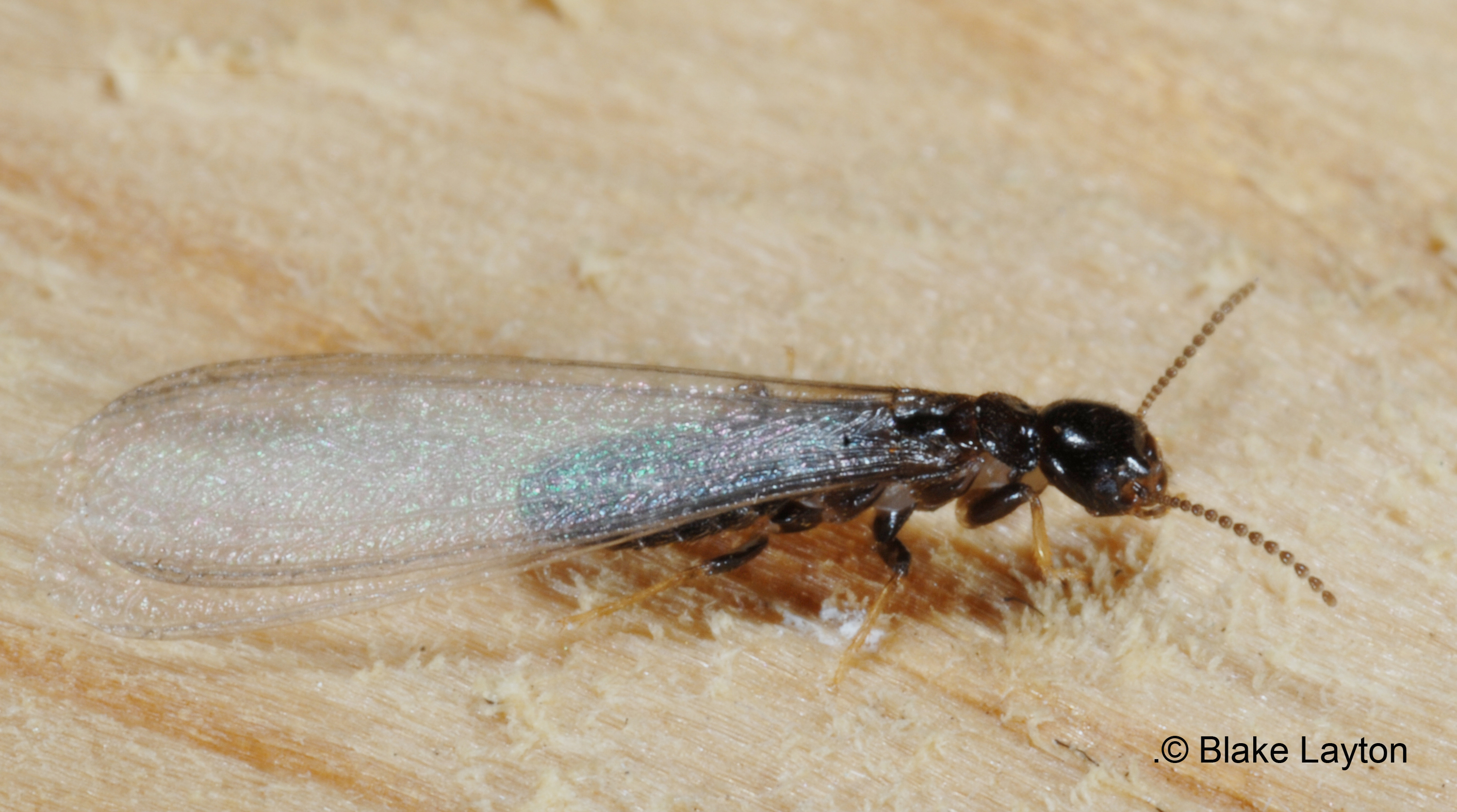 This is an Eastern subterranean termite swarmer. Note the long wings, with both pairs of equal length, and the straight, beadlike antennae.