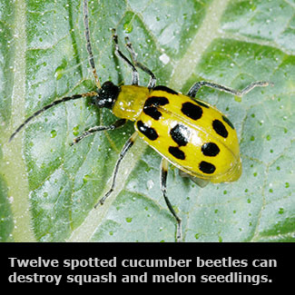 Terrific Insects Vegetable Gardens Mississippi State University Home Interior And Landscaping Eliaenasavecom