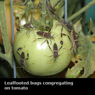 Tremendous Insects Vegetable Gardens Mississippi State University Home Interior And Landscaping Eliaenasavecom