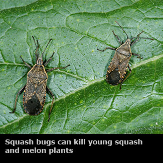Genial Insects Vegetable Gardens | Mississippi State University Extension Service