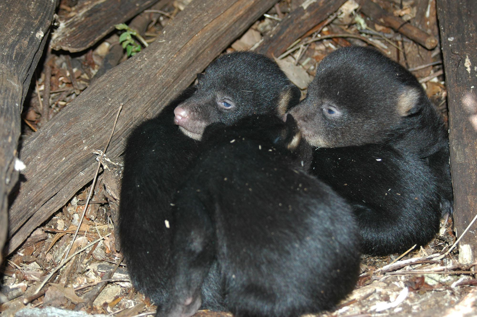 These South Mississippi cubs are part of a growing population of black bears in Mississippi. They were photographed by David Watts in Wilkinson County in March 2005.