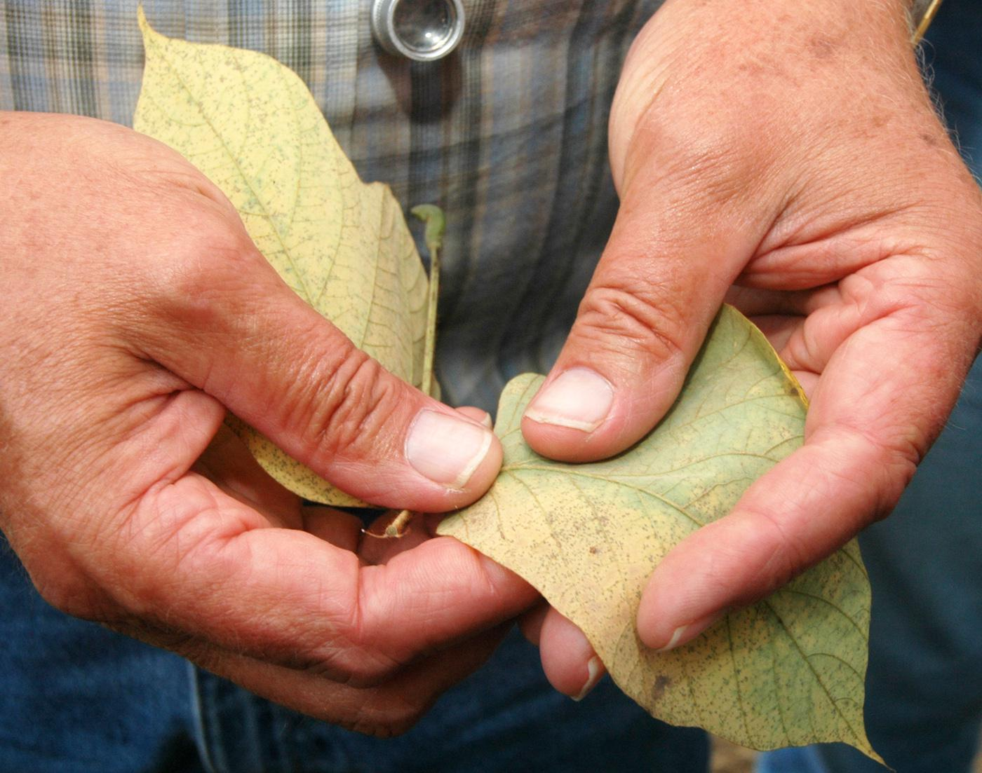 The spots on this kudzu leaf in Wilkinson County are evidence of the disease. (Photo by Bob Ratliff)