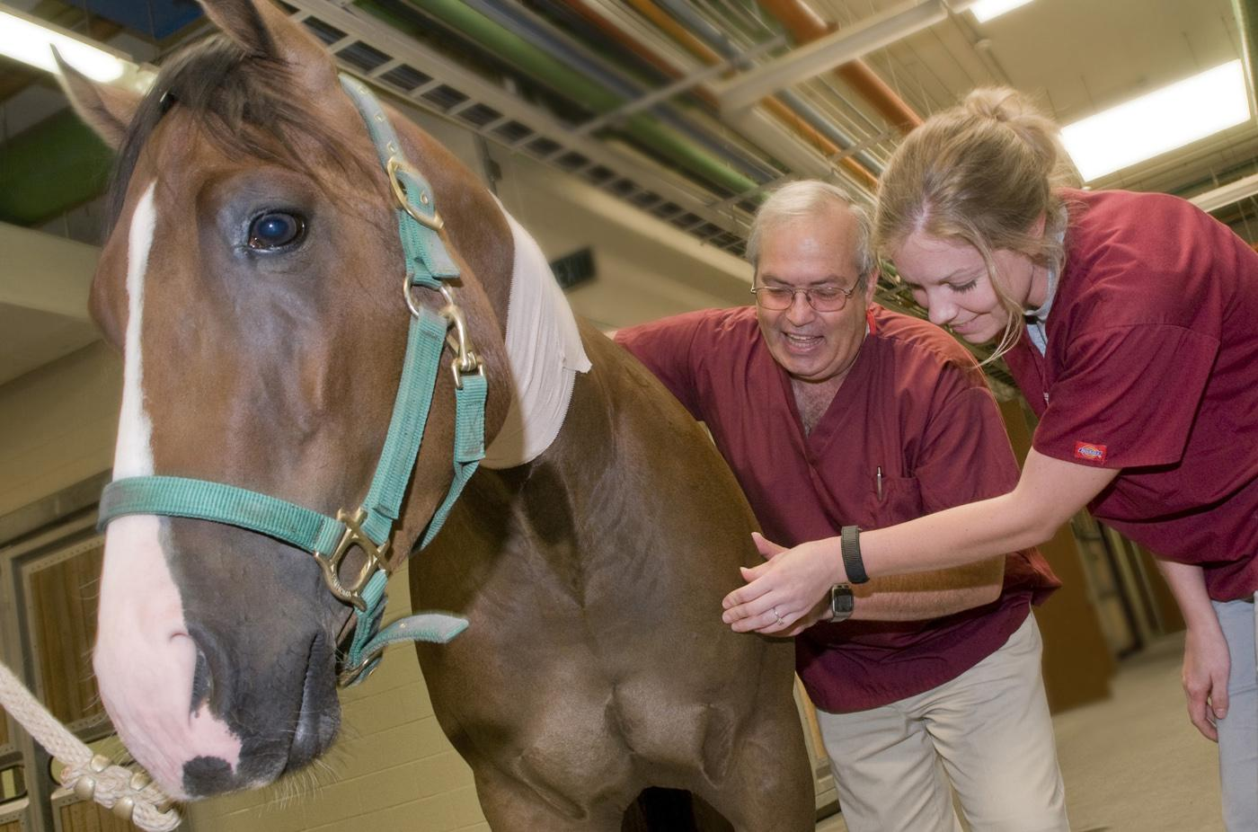 Dr. Bob Linford of Mississippi State University's College of Veterinary Medicine instructs veterinary student Angie Skyles in equine joint palpation, or feeling with the hand, techniques. (Photo by Tom Thompson)