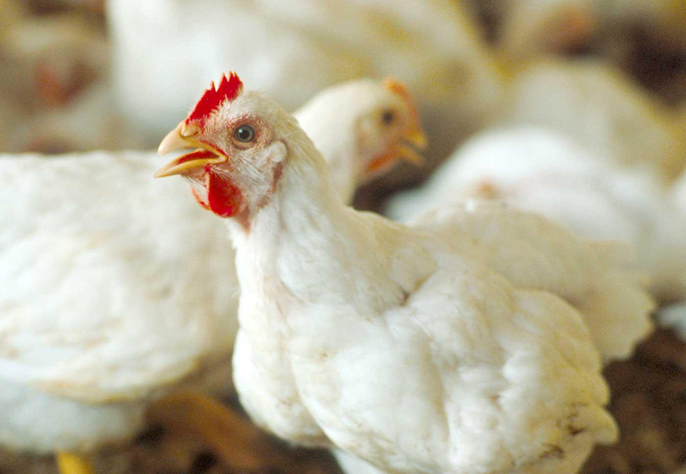 Poultry is Mississippi's top crop in terms of farmgate value. The commodity posted an estimated value of $2.37 billion for 2009. (Photo by MSU Ag Communications/Jim Lytle)