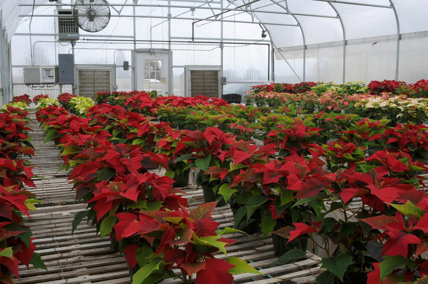 Thirty-two varieties of poinsettias in shades of red, pink and white are gaining more color each day as the Mississippi State University's annual holiday plant sale approaches. The event will be from 9 a.m. to 5 p.m. on Dec. 3 in the campus greenhouses behind Dorman Hall on Stone Boulevard. (Photo by Kat Lawrence)