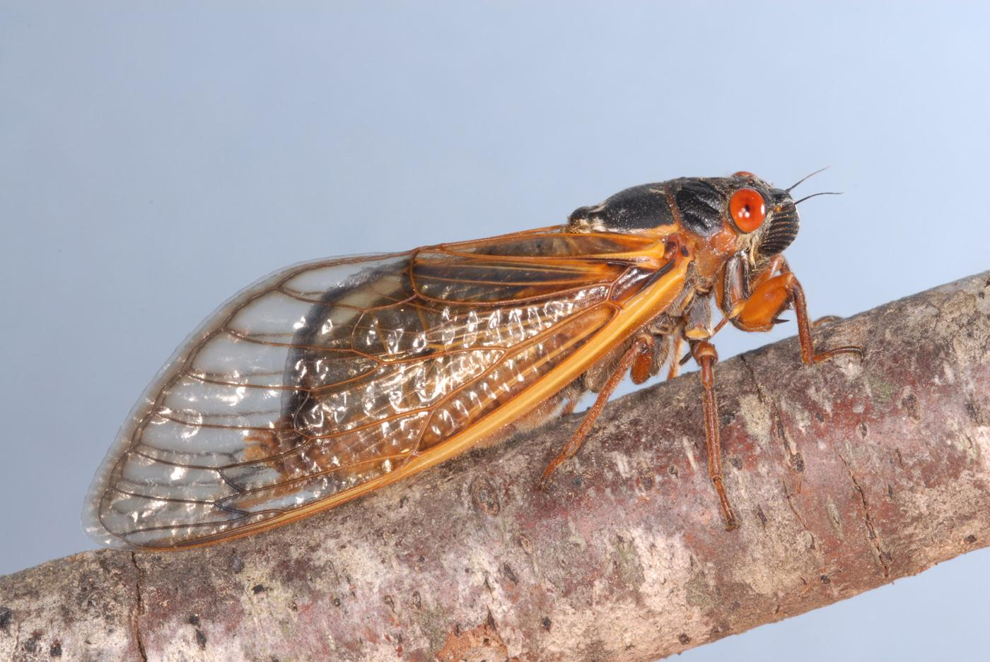 One of the three broods of 13-year cicadas will emerge in the thousands this spring in Mississippi. With their black bodies and orange eyes, these periodical cicadas are different from the large, green, annual cicadas that emerge each summer. (Photo by MSU Extension Service/Blake Layton)