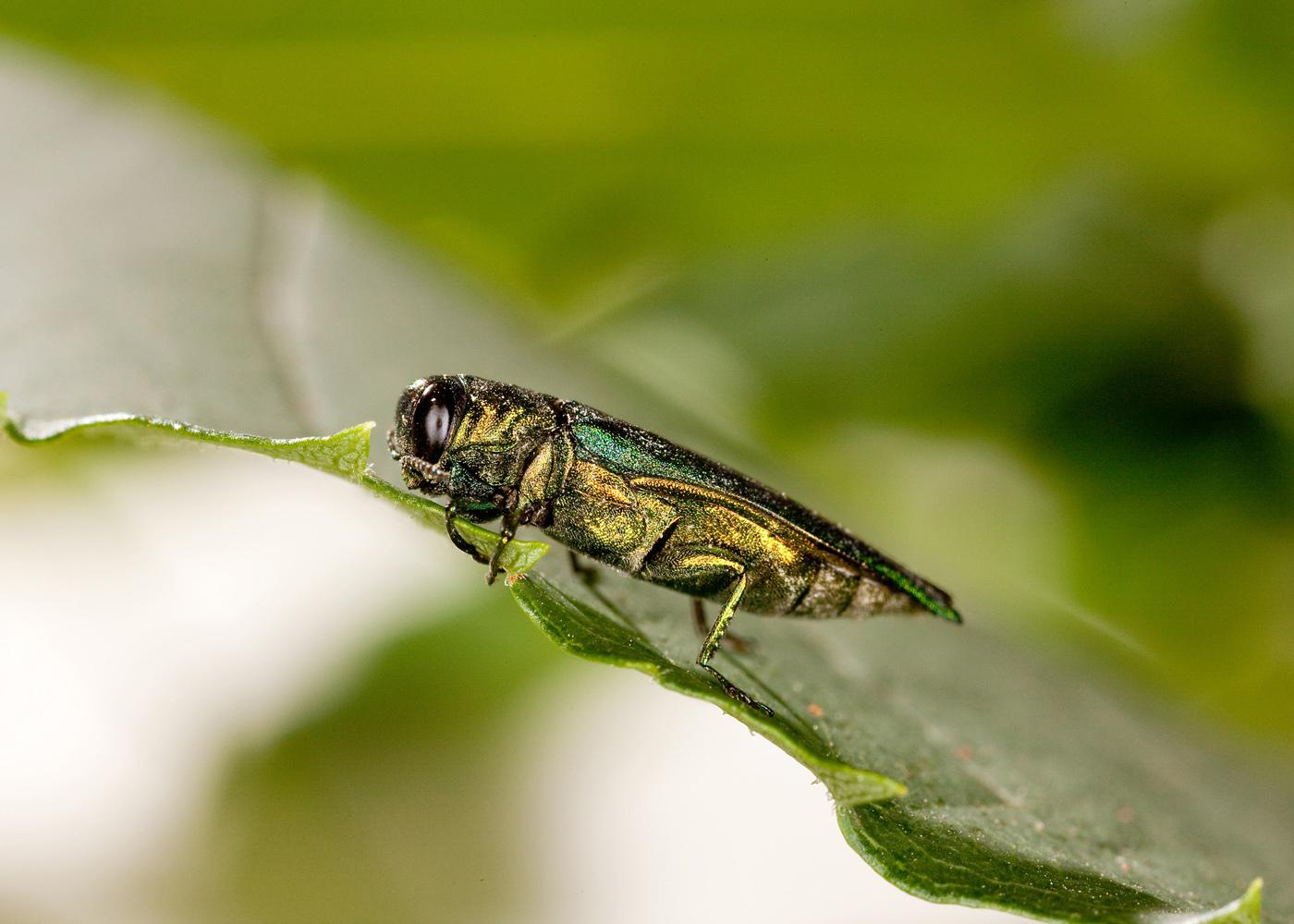 The emerald ash borer is metallic green in color and about 1/2 inch long. The beetle's larva tunnels under the bark and disrupts the ash tree's absorption of food and water, eventually starving and killing it. (Photo by USDA ARS/Stephen Ausmus)