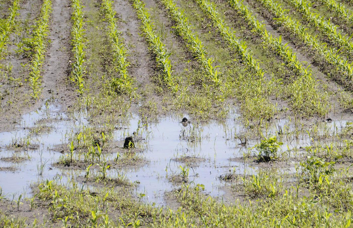 Ongoing rains are flooding fields, delaying planting and postponing needed management such as weed control. This south Monroe County corn field was flooded by late April storms. (Photo by Scott Corey)